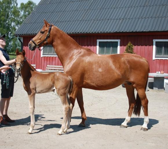 hästar säljes och köpes